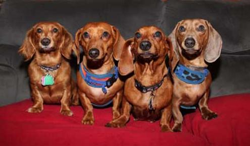 Doxie_4_Pack small