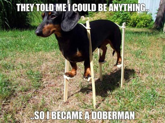 Doxie on stilts
